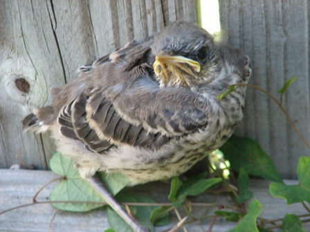 Baby Mockingbird that fell from a tree and huddled on our fence.
